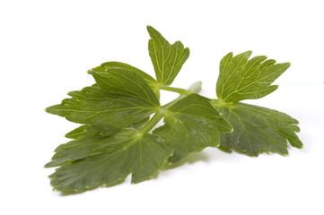 loveage leaf. herb