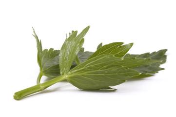 loveage leaf. herbs