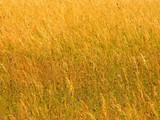 golden grass background