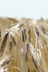épi de blé 6