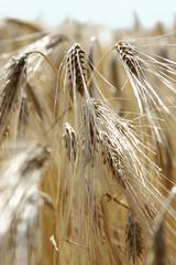 épi de blé 5