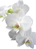 Biała orchidea - 870587