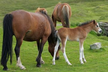 wild mountain ponies