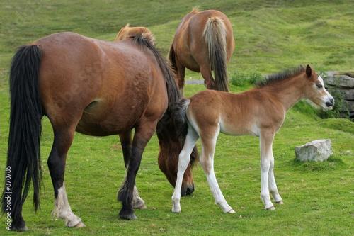 wild mountain ponies Poster
