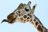 giraffe tongue poster