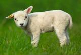 cute sheep - Fine Art prints