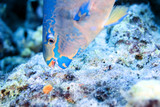 parrot fish feeding on coral poster