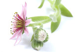 Fototapety beautiful flower. pink cactus