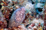 spotted moray eel poster