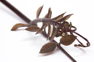 ivy. plant