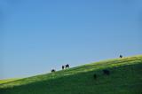 cattle on the hillside poster