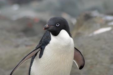 pingüino adelie / adelaida