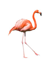 red caribbean flamingo dancing isolated