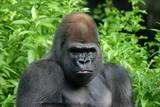 gorilla,ape,primate,silverback,animal,nature,mamma poster