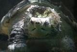 turtle,reptile,animal,nature,teeth,water,lake,earl poster