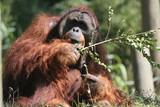 orang,orangutan,primate,ape,anthromorphic,animal,m poster