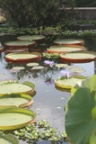 blue,brilliant,water lily,lily,water,flower,botani poster