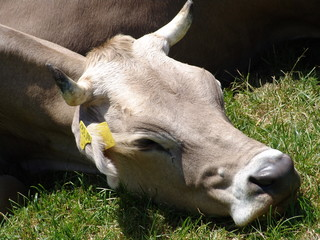 relaxed cow