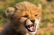 angry cub