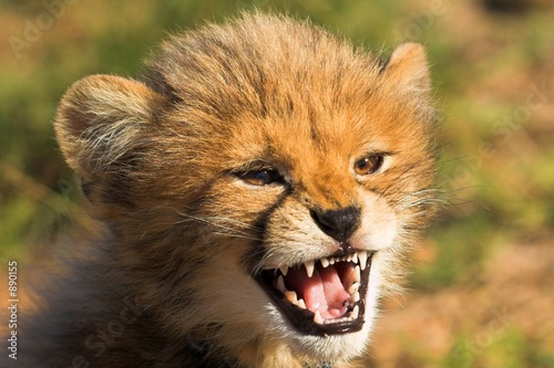 Fotobehang angry cub
