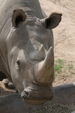 rhinocerous,rhino,mammal,animal,horns,nature,san d poster