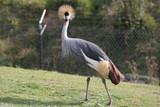 crowned crane,crane,crowned,bird,animal,live,nashv poster