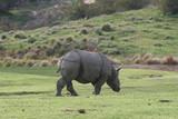 rhinocerous,rhino,wild,mammal,animal,nature,park,s poster