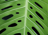 tropical leaf with holes poster