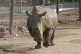 rhinoscerous,rhino,closeup,water  uffalo,mammal,an poster