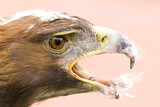 golden eagle feed poster