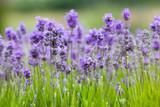 Fototapety lavender background