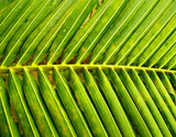 coconut  leaves    2 poster