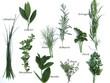 tableau des plantes aromatiques