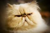 persian cat poster