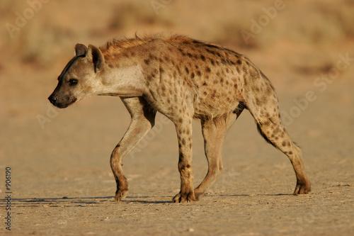 Keuken foto achterwand Hyena spotted hyena