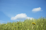 grass and flowers over blue sky - shallow focus poster