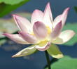 pink & white lotus bloom