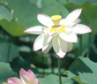 white lotus in bloom