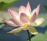 pink & white lotus bloom poster