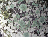 abstract texture - lichen covered bark 2 poster