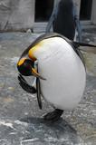 bowed penguin poster