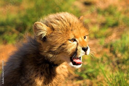 Fotobehang yawning cub