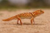giant ground gecko poster
