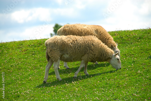sheep grazing on the hillside