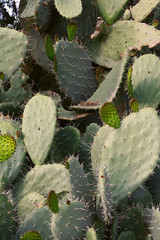 large cactus plant