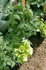 légume de jardin