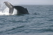 there she goes, a humpback whale diving.