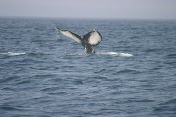 i'm getting out of here, humpback diving.