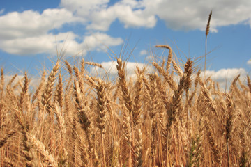 a wheat field with blue sky background