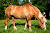 a beautiful belgian horse